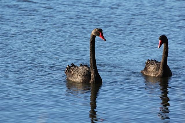 black-swan-3-jpg