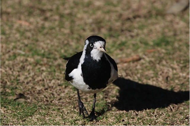 female-magpie-lark