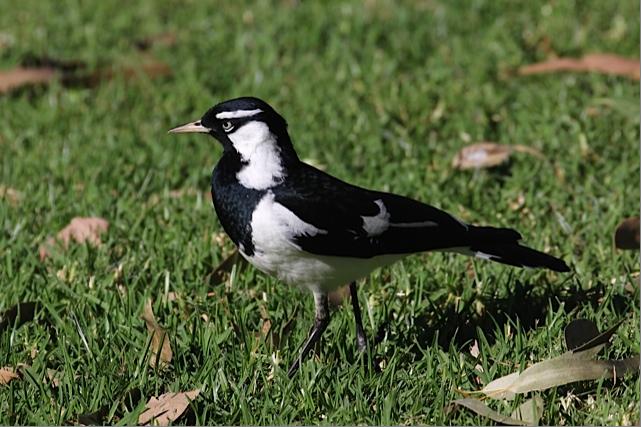 male-magpie-lark