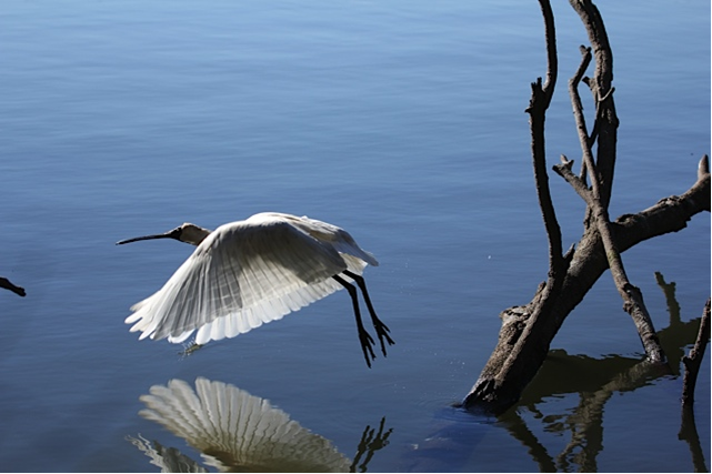 royal-spoonbill-flight