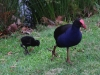 baby-purple-swamp-hen-with-mother