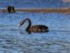black-swan-2-jpg