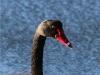 black-swan-jpg