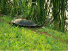 long-necked-turtle