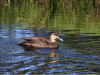 pacific-black-duck