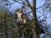 pied-cormorant