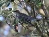 red-wattle-bird