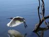 royal-spoonbill-flight