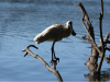 royal-spoonbill